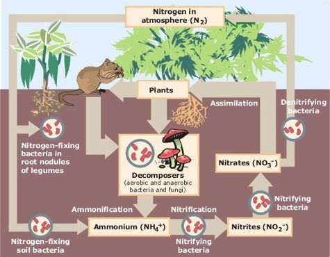 Nitrogen Cycle Diagram